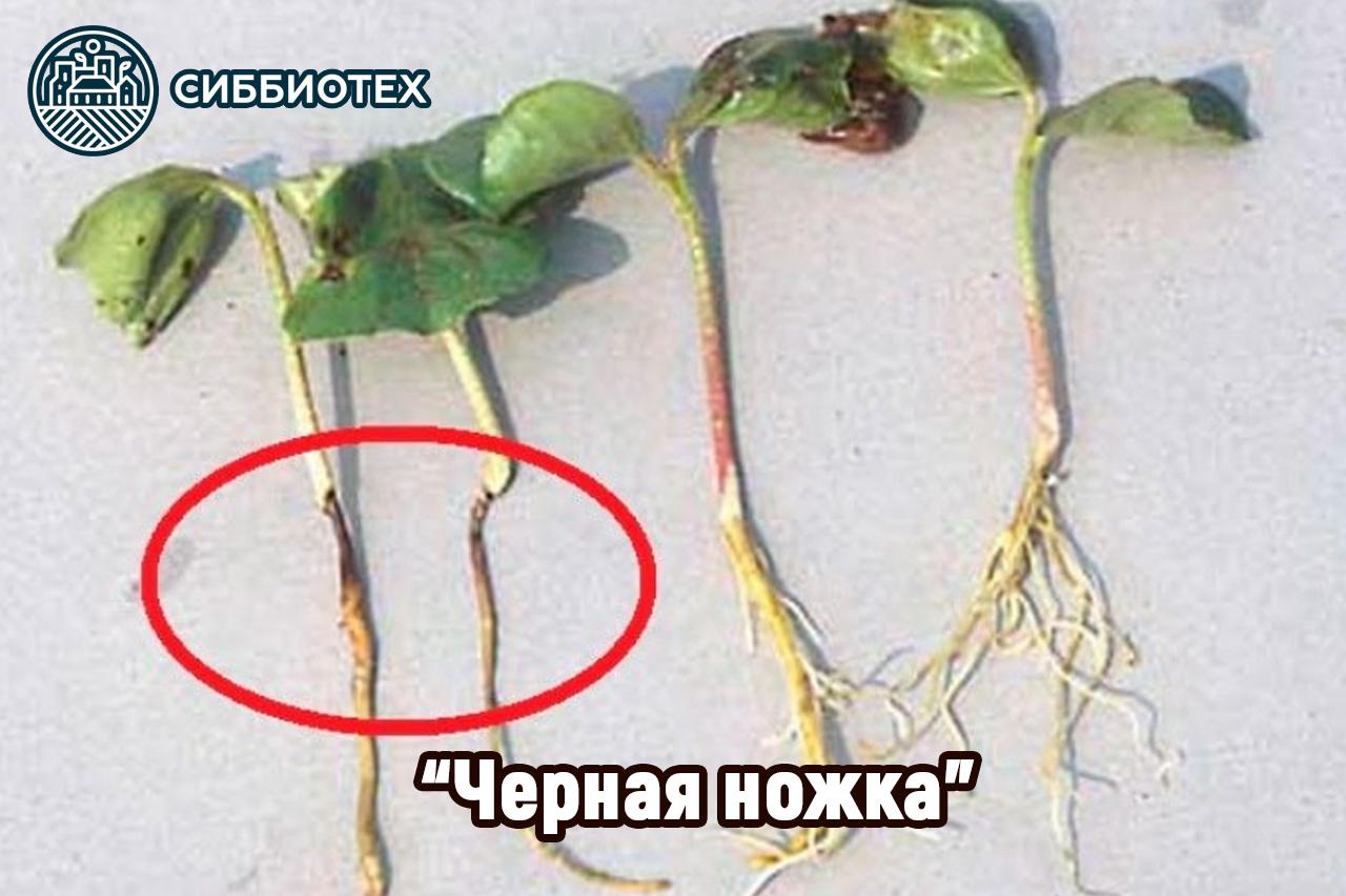 Черная ножка у растений