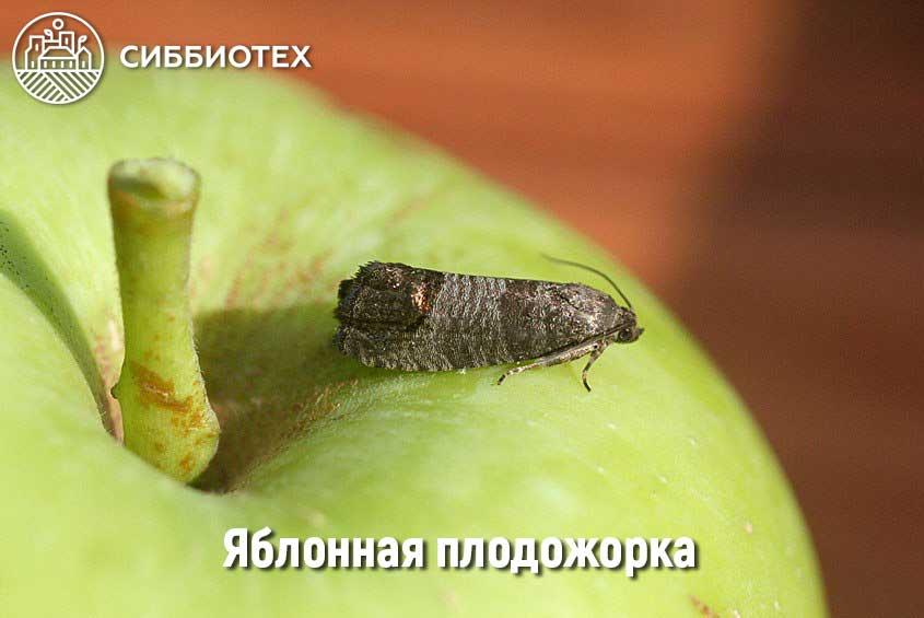 Яблонная плодожорка Изображение-заголовок для статьи