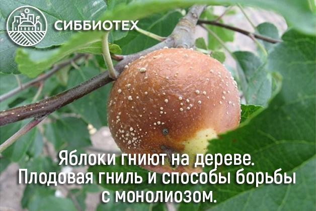 Статья: яблоки гниет на дереве